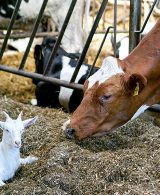 Ziege und Kuh