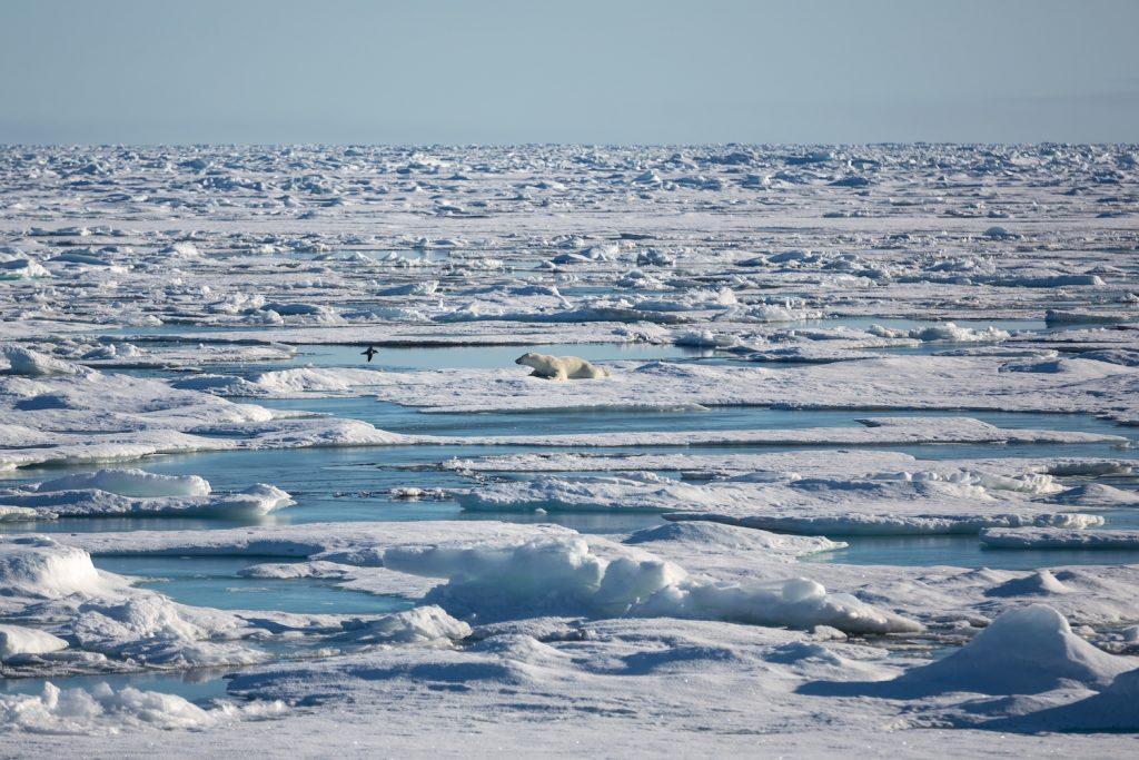 Ein Eisbär auf arktischem Meereis. © Alfred Wegener/ Institut S. Hendricks